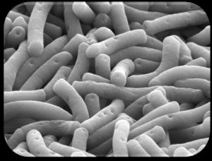 lactobacillusbulgaricus1-jpg